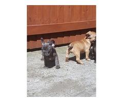 Stunning Litter Of Gorgeous AKC Reg French Bulldog Puppies
