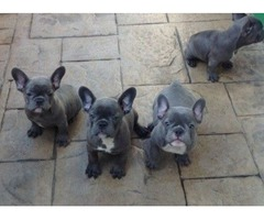 Top Quality Blue French Bulldog Puppies.