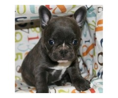 French Bulldog Puppies for Adoption Perfect true to type small, compact