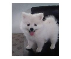 2 registered toy female pomeranian puppies.. 4Xmas