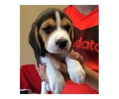 SERIOUS BUYERS ONLY. very rare beagle puppy's for sell