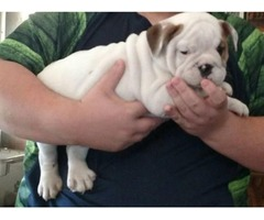 Rare Color AKC English Bulldog Puppies Available