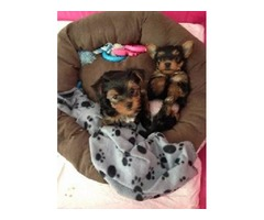 Yorkie puppies Males and Females