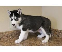 Super adorable husky