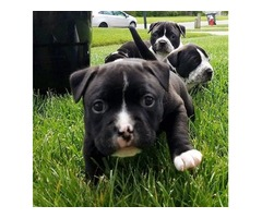 Super adorable American bully Puppies.