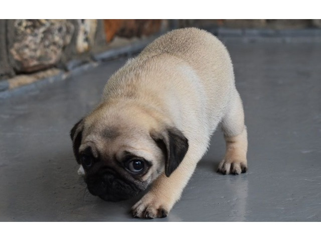 Pug For Sale Animals Chicago Illinois Announcement 82707
