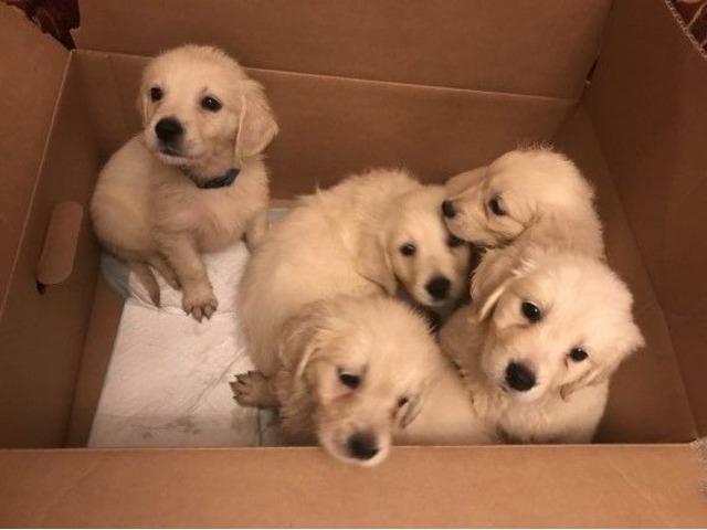 Golden Retriever Animals Bristol Indiana Announcement 82708