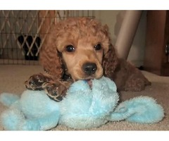 Stunning little Standard Poodle Puppies