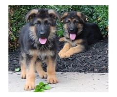 Xmas Baby German Shepherd Puppies Ready
