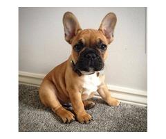 Precious Gorgeous French Bulldog Pups