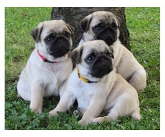 Gorgeous Pugs For Sale