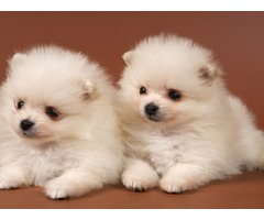 Very Small Pomeranian Puppies For Sale