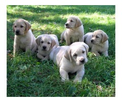 Labrador Retriever Puppies Ready
