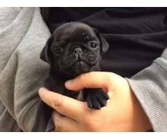 Healthy Pug Puppies Ready For Re-homing