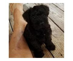 All Miniature Schnauzer female pups