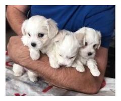 Stunning 3 Generation Pedigree Maltese Puppies