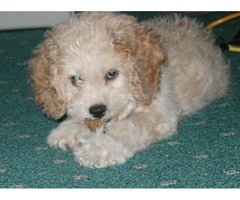 Stunning poodle puppies for sale