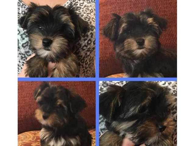 Akc Yorkie Pups Males Animals Burley Idaho Announcement 82992