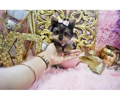 Micro, Teacup, Toy Doll faced Yorkie