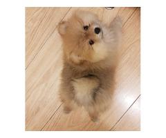 Beatiful Kc Registered Pomeranian Girl