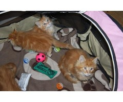4 Pure Bred Red Maine Coons Parents Gccf Reg