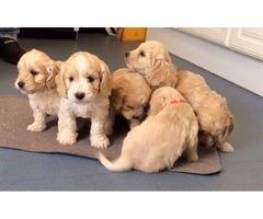 F1 cockapoo puppies 3 girls available