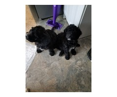 Whoodle puppies