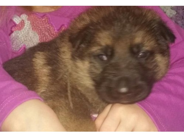 Akc German Shepherd Pups Animals Evansville Indiana