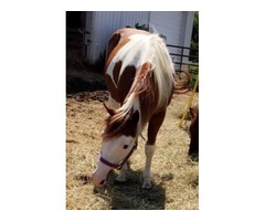 White and brown paint gelding