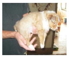 Shetland Sheepdog (Sheltie) pups