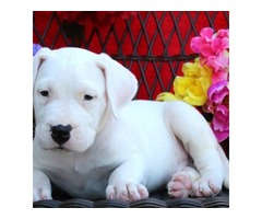 Beaitiful new litter Dogo Argentino Puppies