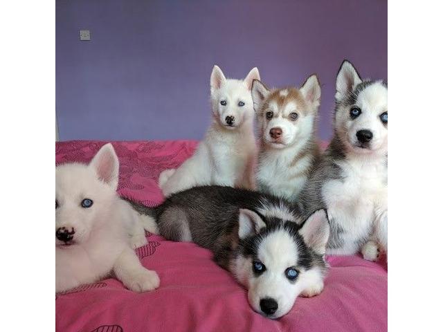 stunning siberian Husky puppies  | free-classifieds-usa.com