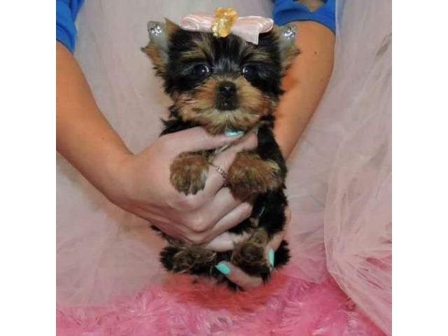 Cute Yorkie puppies - Animals - Baton Rouge - Louisiana ...