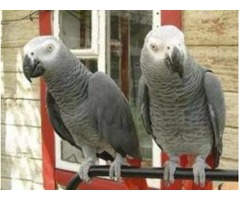 Handreared baby african greys for sale