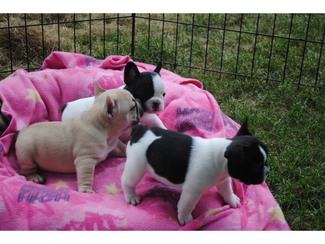 french bulldog rescue dallas free french bulldog puppies for adoption now animals 4947