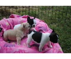 Free French Bulldog Puppies For Adoption now