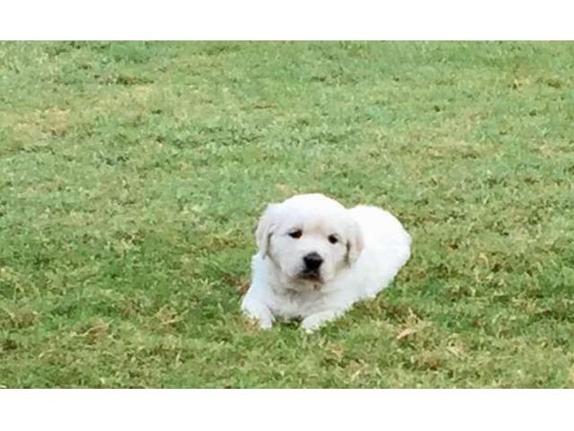 Akc Golden Retriever Puppies Animals Sarasota Florida