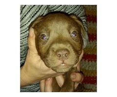 Bullmastiff / Pitbull Pups