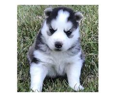 AKC & CKC Siberian Husky Puppies