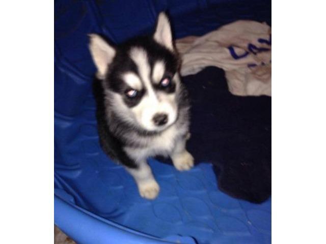 AKC Siberian Huskies   free-classifieds-usa.com