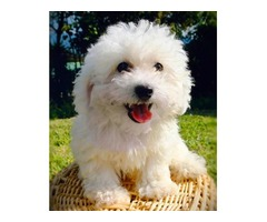 Christmas morning Bichon Frise, white, male, 6-mo-old puppy