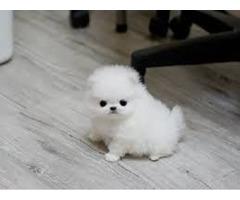 Cute Pomeranian puppy for adoption
