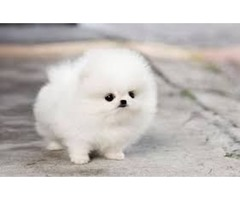 Lovely Pomeranian puppy for adoption