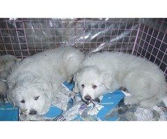 Great Pyrenees/Pyrenean Mastiff Pups