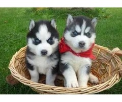 Healthy Siberian Husky puppies