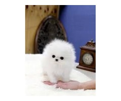 Excellence Pomeranian puppy for adoption contact