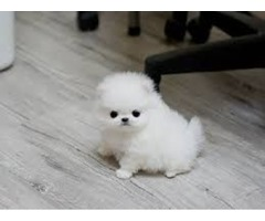 Cute Pomeranian puppy for adoption contact