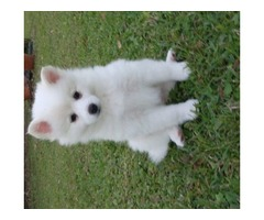 healthy american eskimo puppies for new year companion