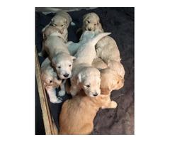 Registered AKC Golden Retriever puppies