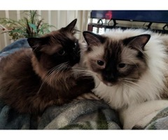 2 purebred Ragdoll cats for rehoming